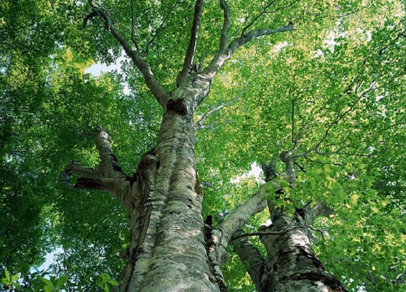 деревья-вампиры осина
