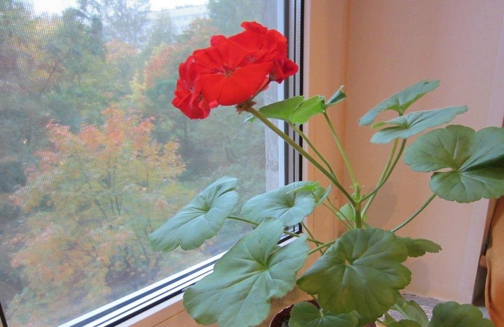 комнатное растение осенью