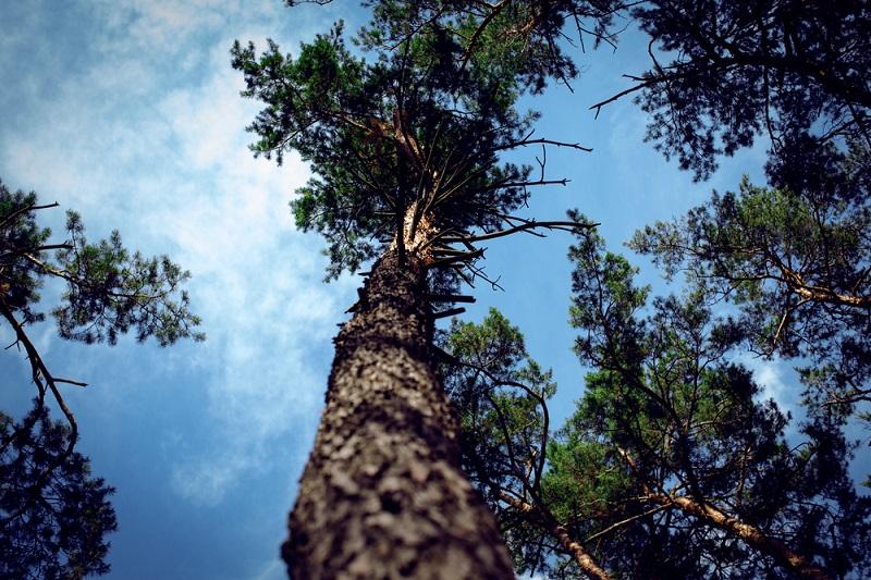 хвойное дерево в лесу