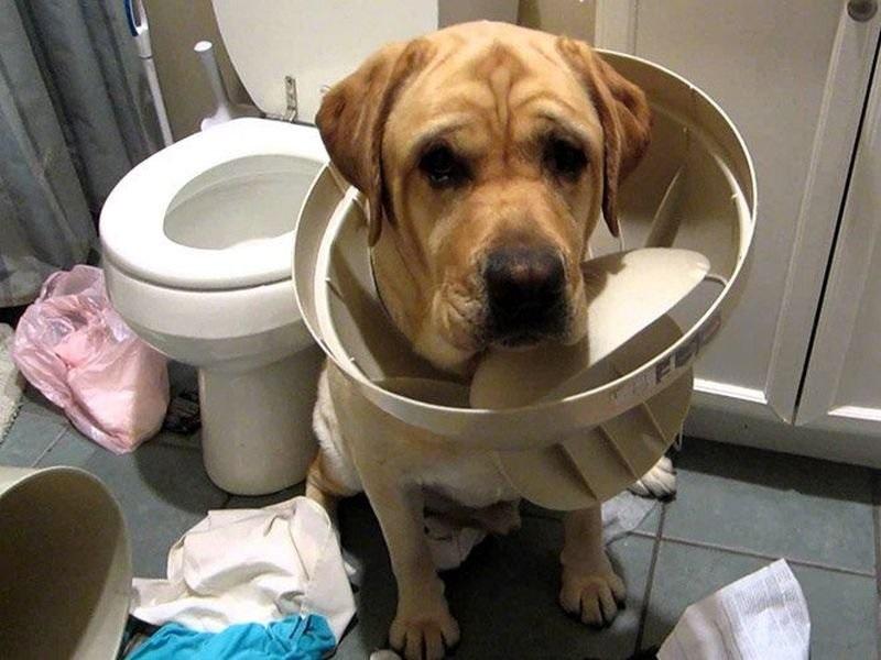 собака застряла в крышке унитаза