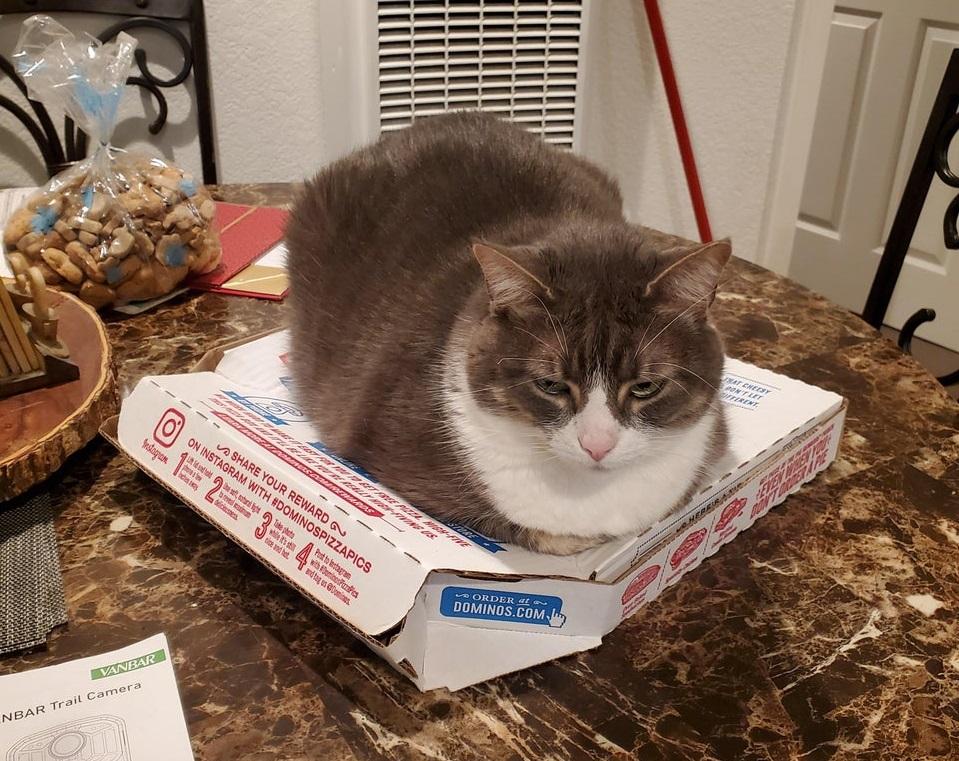 кот на коробке с пиццей