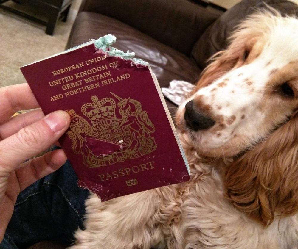 собака разорвала загранпаспорт