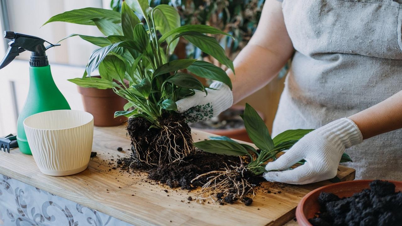 женщина в перчаткках пересаживает растение