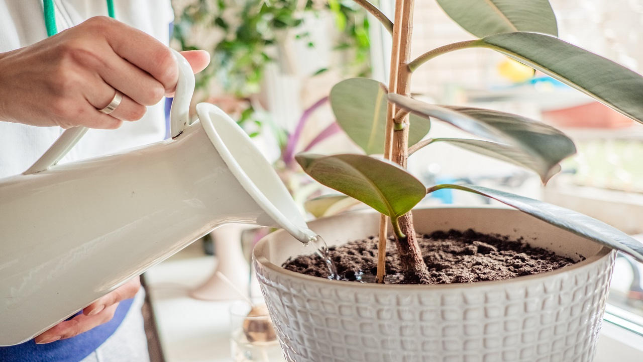 женские руки поливают растение от мошек в цветочных горшках