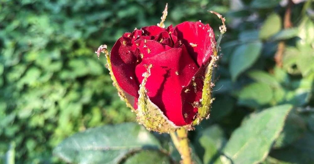 роза с тлей