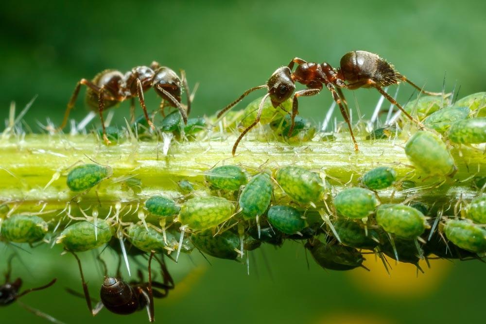 муравьи приносят тлю