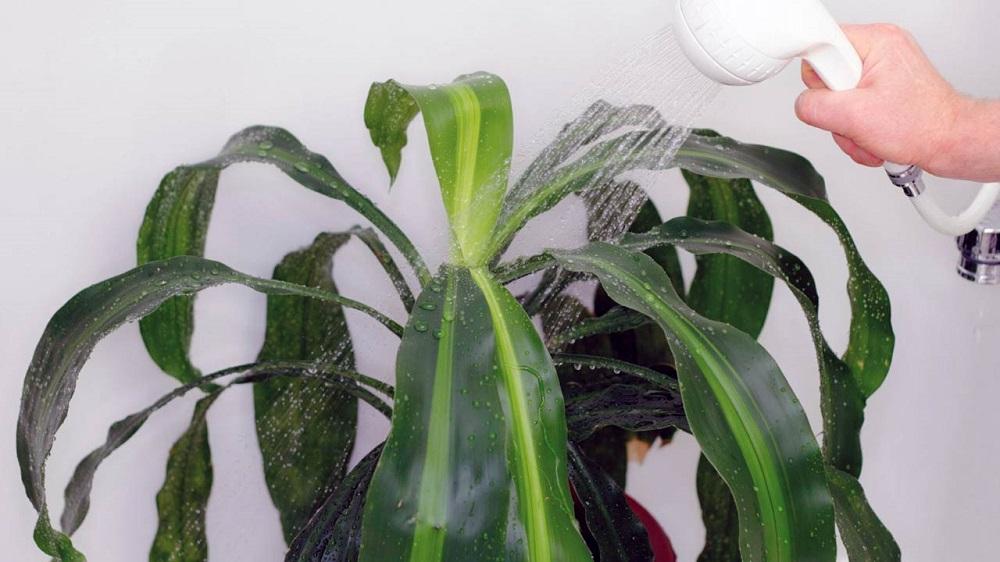 полив из душа большого растения