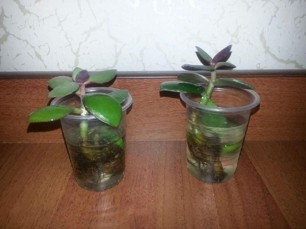 отросток денежного дерева в стакане
