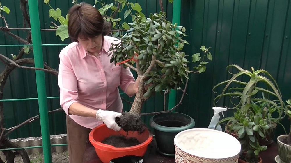 женщина пересаживает денежное дерево