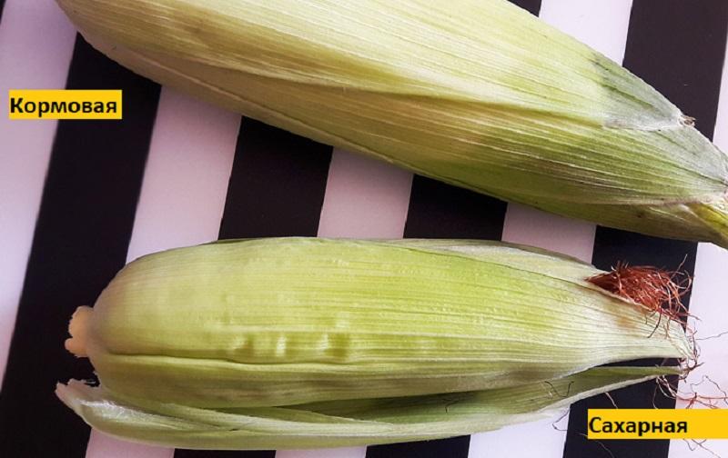 кормовая и сахарная кукуруза размер