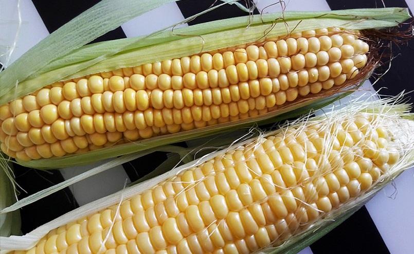 кормовая и сахарная кукуруза выбрать