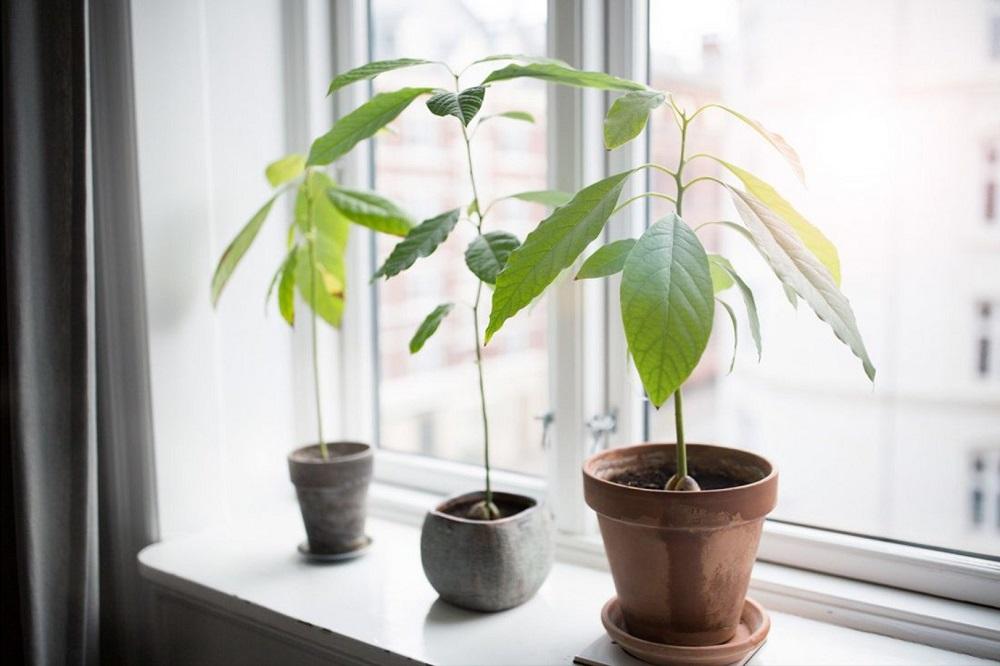 авокадо у окна
