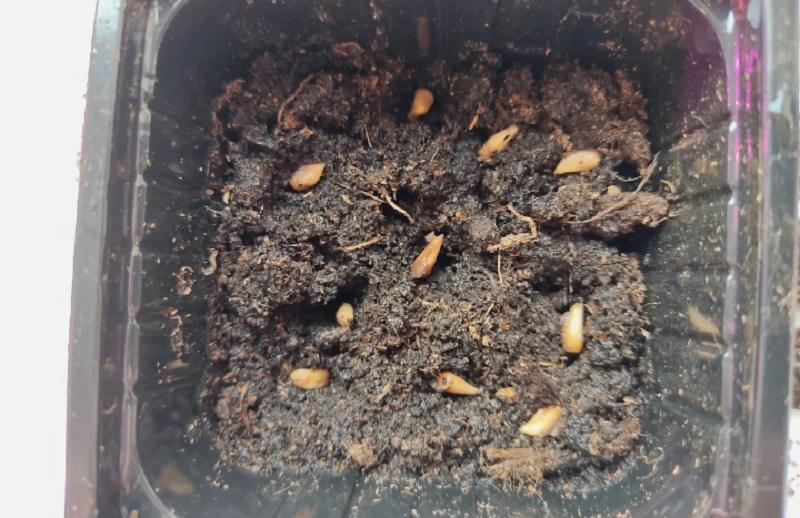 семена граната в грунте