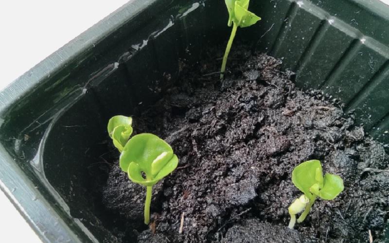 ростки граната