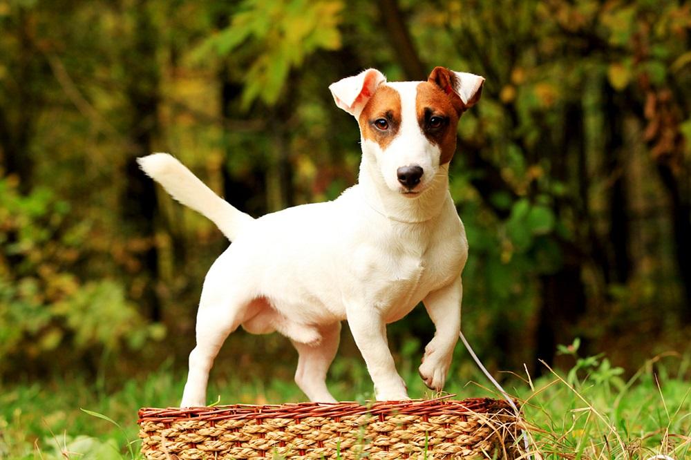 какой собаке соответствует знак зодиака водолей