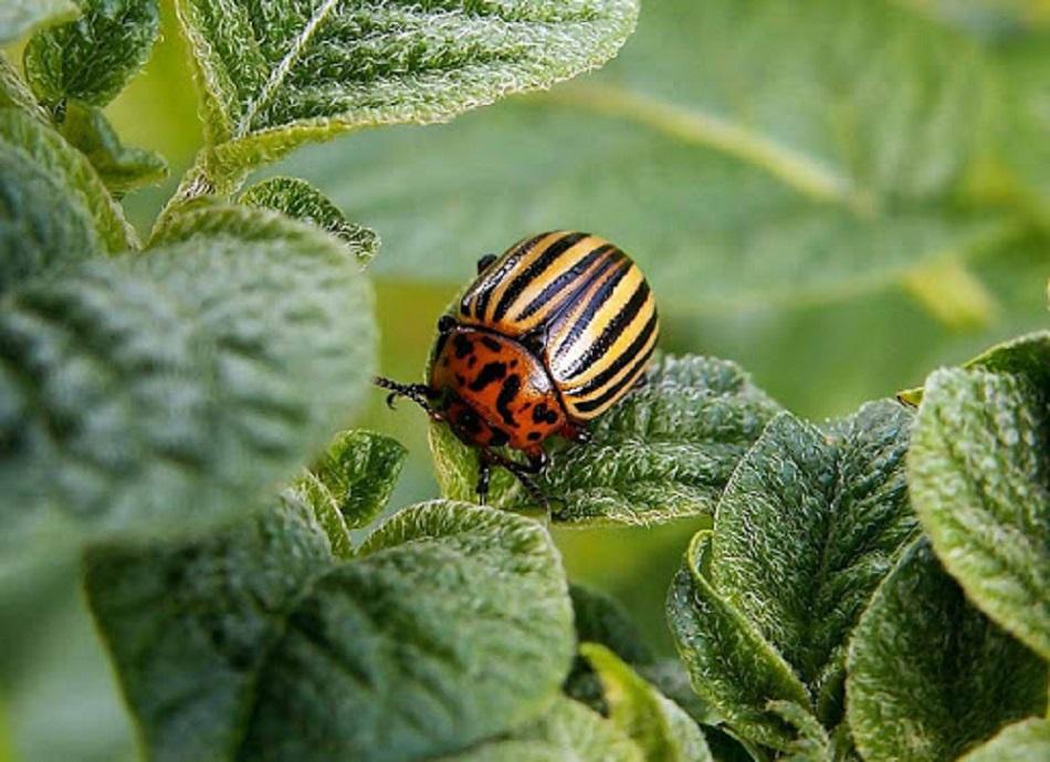 борьба с колорадскими жуками