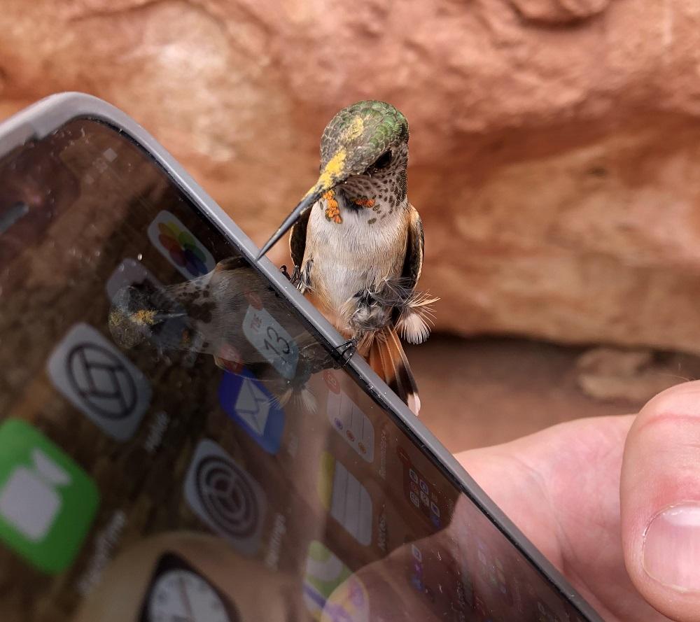 колибри на айфоне