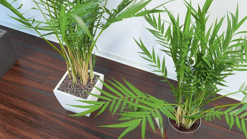 пальма ареки