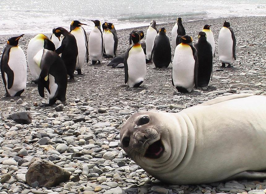 тюлень влез в кадр с пингвинами
