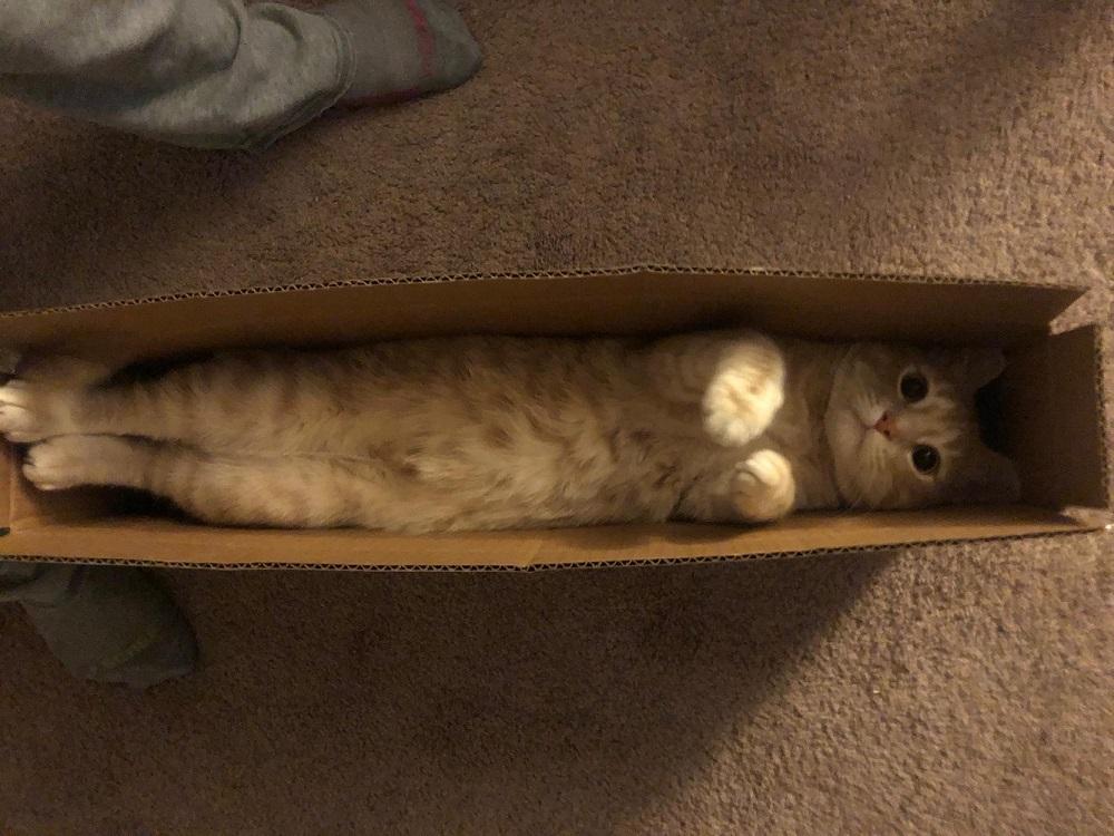 длинная кошка лежит в коробке
