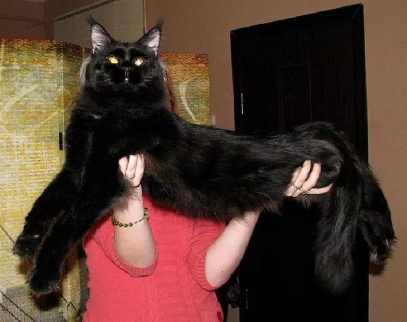 длинный черный кот мейн-кун