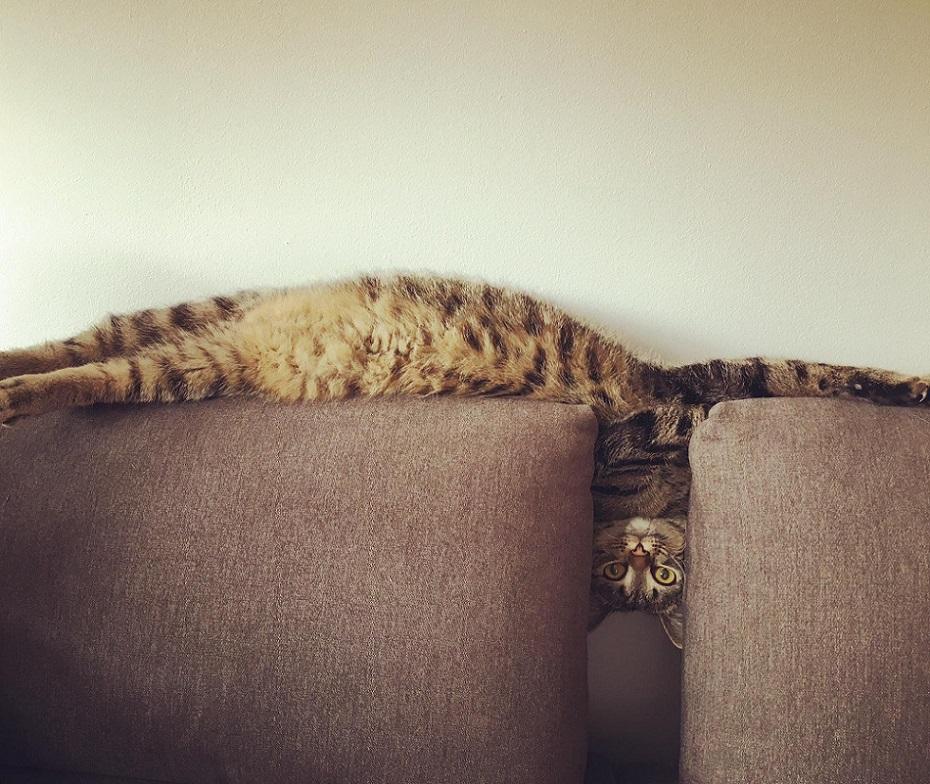 длинная кошка лежит в диване