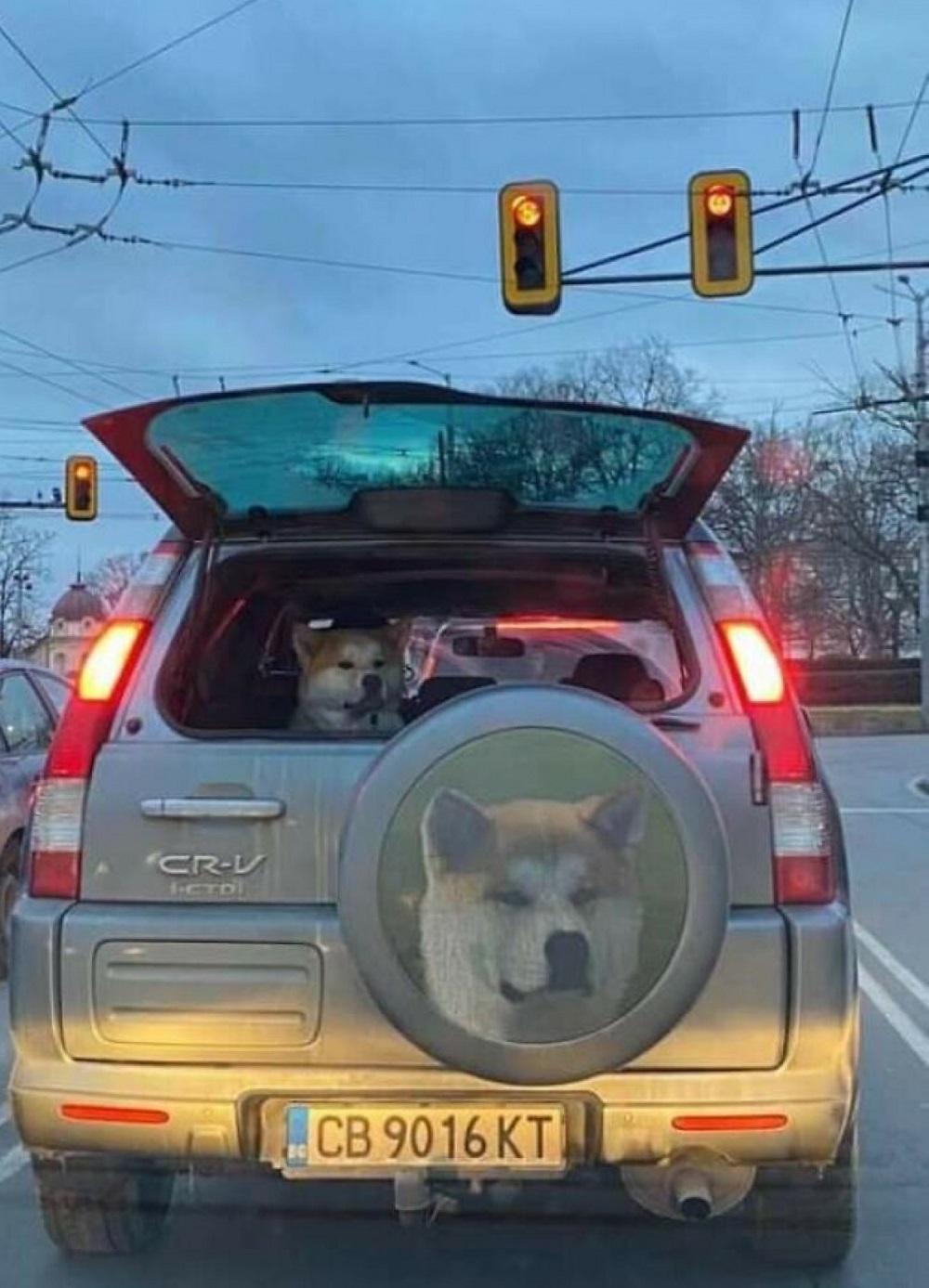 фото собаки на машине сзади