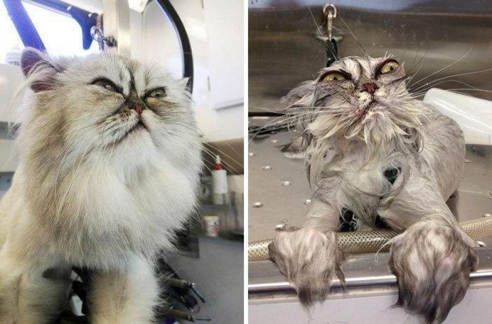 мокрый пушистый кот