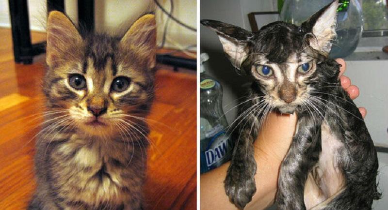 полосатый кот после купания