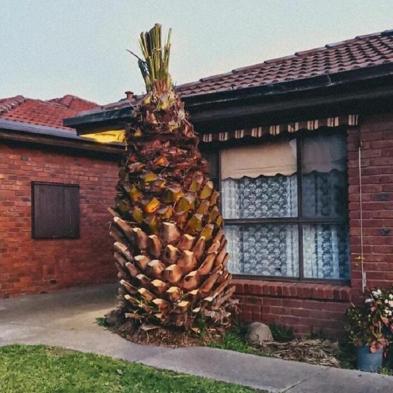 большой ананас возле дома