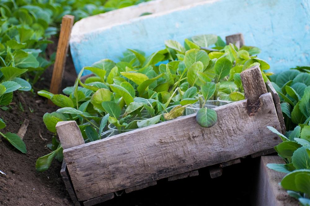 молодые капустные саженцы