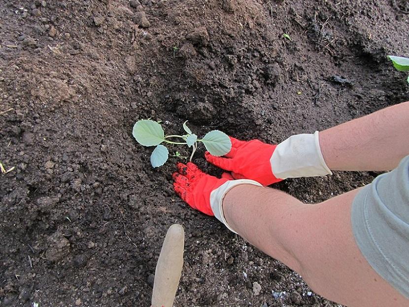 ямка с перегноем удобрение для капусты