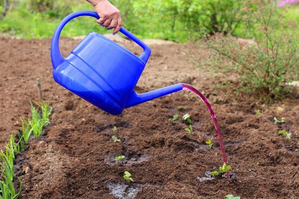 полив марганцовкой капусты