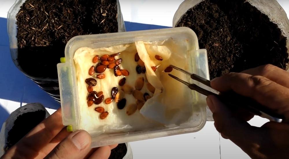 садим семена арбуза для рассады