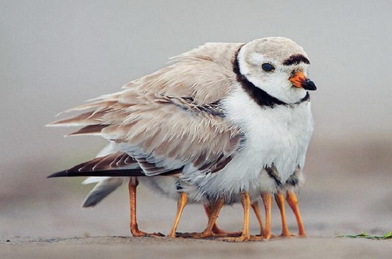 заботливая мама с птенцами