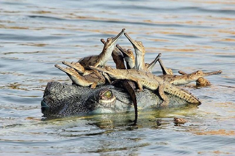 крокодилята с мамой