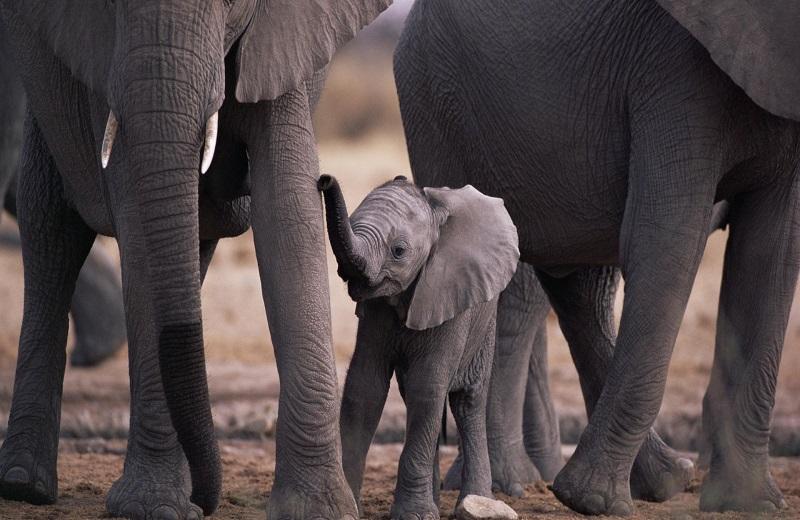 слоненок в стаде