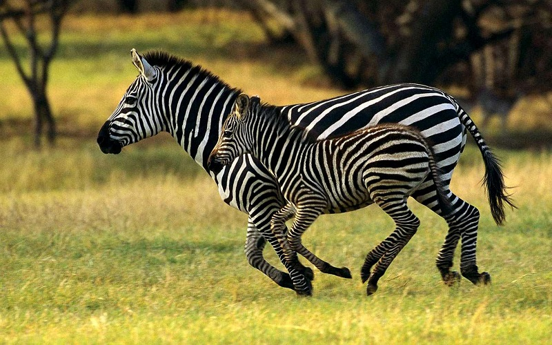 зебра с жеребенком