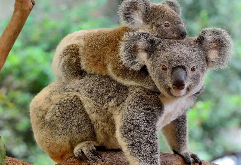 коала с потомством