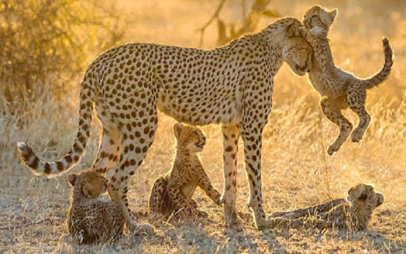 мама-леопард