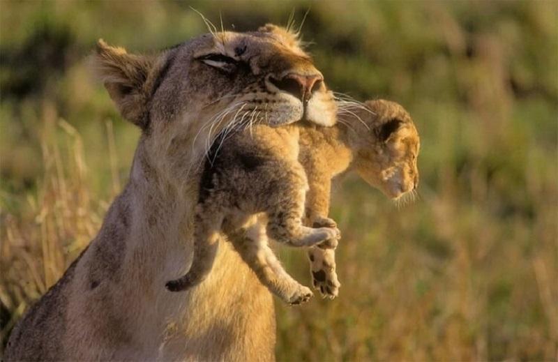 львенок с заботливой мамой