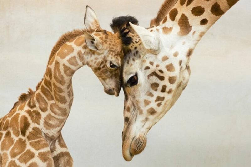 заботливые мамы жирафы