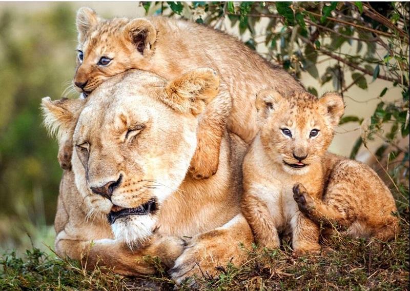 мама-львица